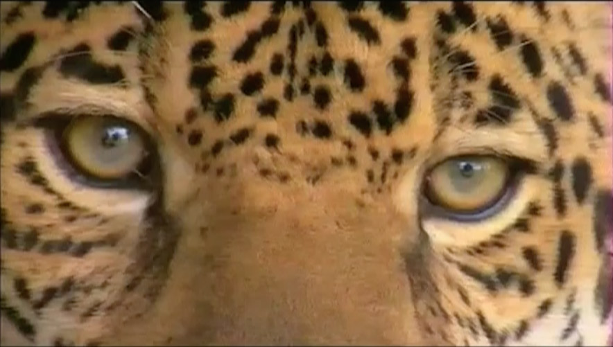 Sur les traces du léopard d'Arabie