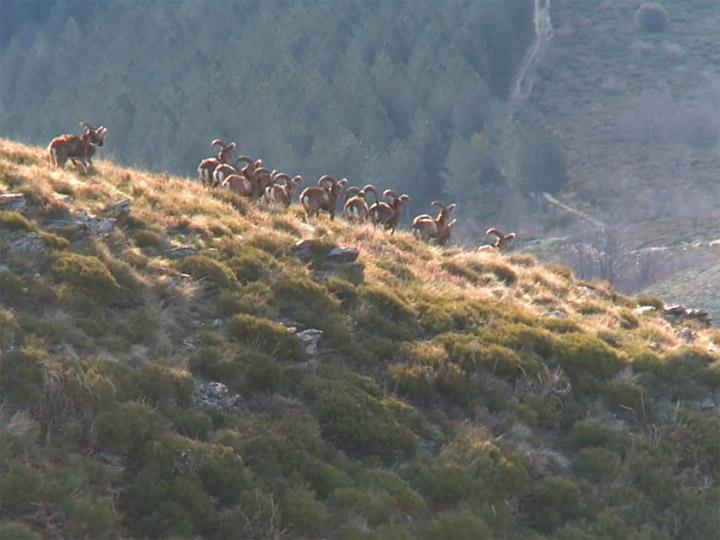 Visuel vidéo Les mouflons du Mont Aigoual